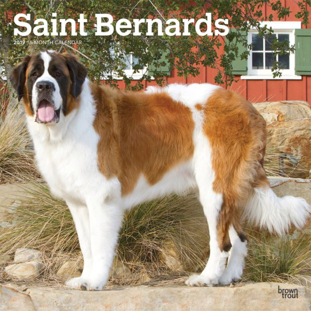 Saint Bernards 2019 12 x 12 Inch Monthly Square Wall Calendar