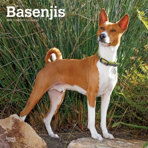 Basenjis 2019 12 x 12 Inch Monthly Square Wall Calendar