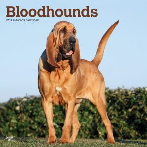 Bloodhounds 2019 12 x 12 Inch Monthly Square Wall Calendar