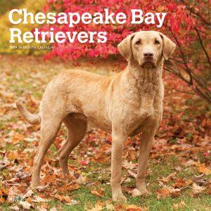 Chesapeake Bay Retrievers 2019 12 x 12 Inch Monthly Square Wall Calendar