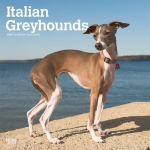 Italian Greyhounds 2019 12 x 12 Inch Monthly Square Wall Calendar