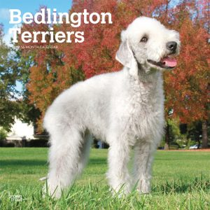 Bedlington Terriers 2019 12 x 12 Inch Monthly Square Wall Calendar