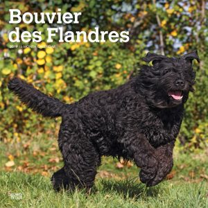 Bouvier des Flandres 2019 12 x 12 Inch Monthly Square Wall Calendar