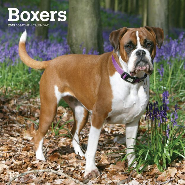 Boxers International Edition 2019 12 x 12 Inch Monthly Square Wall Calendar