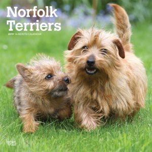 Norfolk Terriers 2019 12 x 12 Inch Monthly Square Wall Calendar