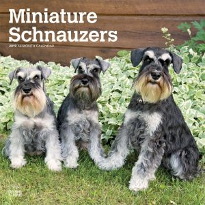 Miniature Schnauzers International Edition 2019 12 x 12 Inch Monthly Square Wall Calendar