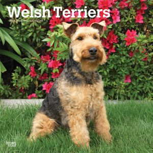Welsh Terriers 2019 12 x 12 Inch Monthly Square Wall Calendar
