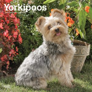 Yorkipoos 2019 12 x 12 Inch Monthly Square Wall Calendar