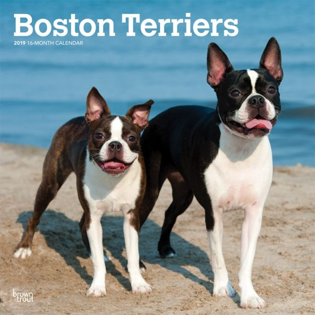 Boston Terriers 2019 12 x 12 Inch Monthly Square Wall Calendar, Animals Dog Breeds Terriers